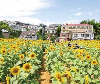 3万本の花が咲くひまわり畑(写真は過去のもの)