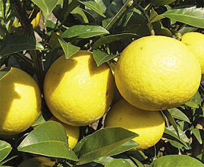 かながわの柑橘類を