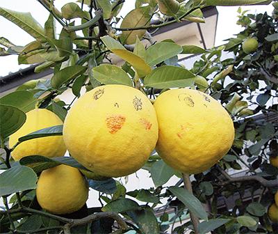庭先でほほ笑むレモン