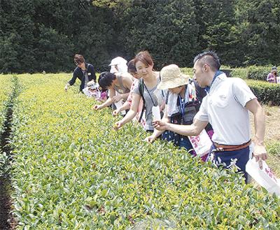 茶摘みで環境学習