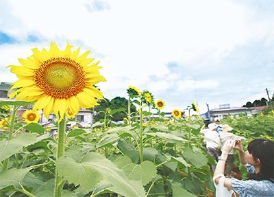 黄色の大輪ようやく開花