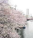 河川両岸に「桜ロード」が広がる