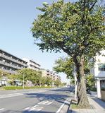 中区を代表する桜の名所「本牧通り」(10月17日撮影)
