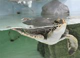 沖縄からやってきたアオウミガメ