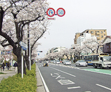 約400mの桜並木が続く本牧通り