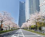 約500mの道路に約100本の桜が並ぶ