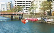 60匹の鯉大岡川泳ぐ