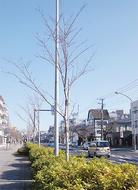 桜の植替え3年目