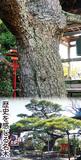 樹齢500年、潔く生きる