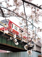 赤い電車と桜の競演
