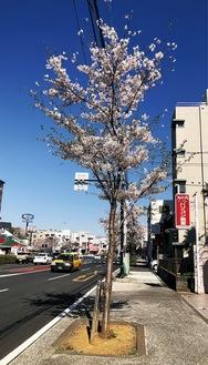 花を咲かせた桜の若木(2015年の様子)=中土木事務所提供
