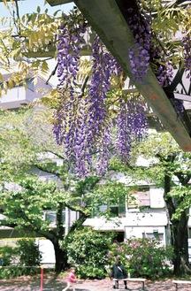 満開を迎えた浜松町公園の藤=4月15日撮影