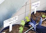 テラスの階段脇でホップを栽培