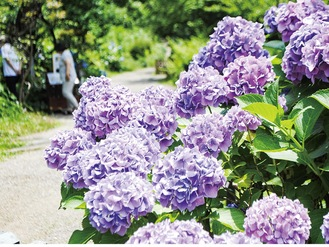 庭園に散りばめられたアジサイ=6月11日撮影