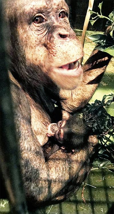 チンパンジーに愛称を