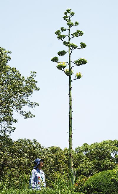 半世紀に一度の開花