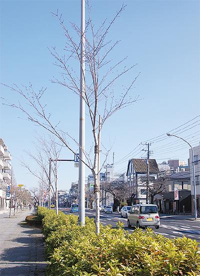 昨春植え替えられた桜=レッドロブスター新本牧店前