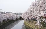 区の名物、大岡川沿いの桜