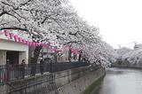 早くも満開を迎えた大岡川の桜(区役所付近で25日撮影)