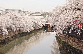 川岸に桜が並ぶ(昨年、蒔田橋付近)