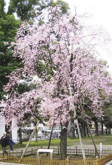 すでに見ごろの歌丸桜(23日撮影)