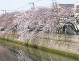 井土ヶ谷橋付近の桜(3月30日撮影)