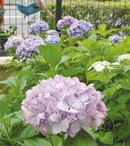 緑化コンクールで全国第2位の評価を受けた蒔田中学校で開花するアジサイ