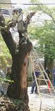 近所の人らが見守る中で行われた伐採作業