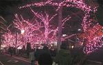 弘明寺の桜ライトアップ(12月)
