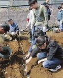 畑にイモを植え、肥料をまく児童たち