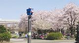 蒔田公園の桜(昨年)