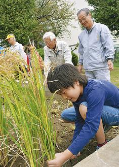 地域と育てた稲、刈り取る