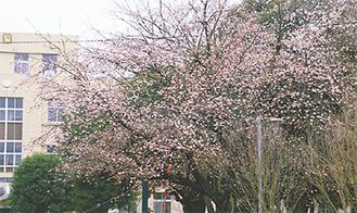 淡い色が特長(3月2日撮影)