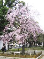 歌丸桜前でフェスタ