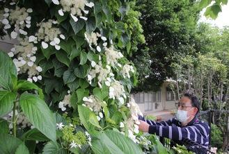 イワガラミを手入れする佐々木さん(5月26日撮影)