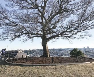 公園のシンボルであるエノキ