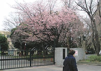 大寒桜が満開に
