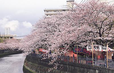 大岡川の桜 ようやく満開
