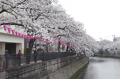 早くも桜満開 関係者困惑