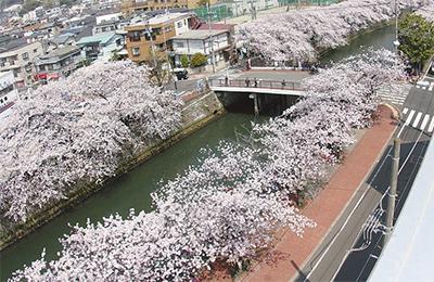 井土ヶ谷橋の桜に愛称を