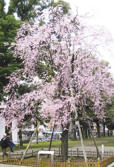 歌丸桜前で落語