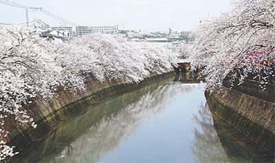 咲き誇る700本の桜並木