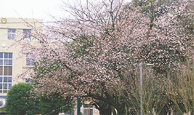 弘明寺の大寒桜間もなく満開に