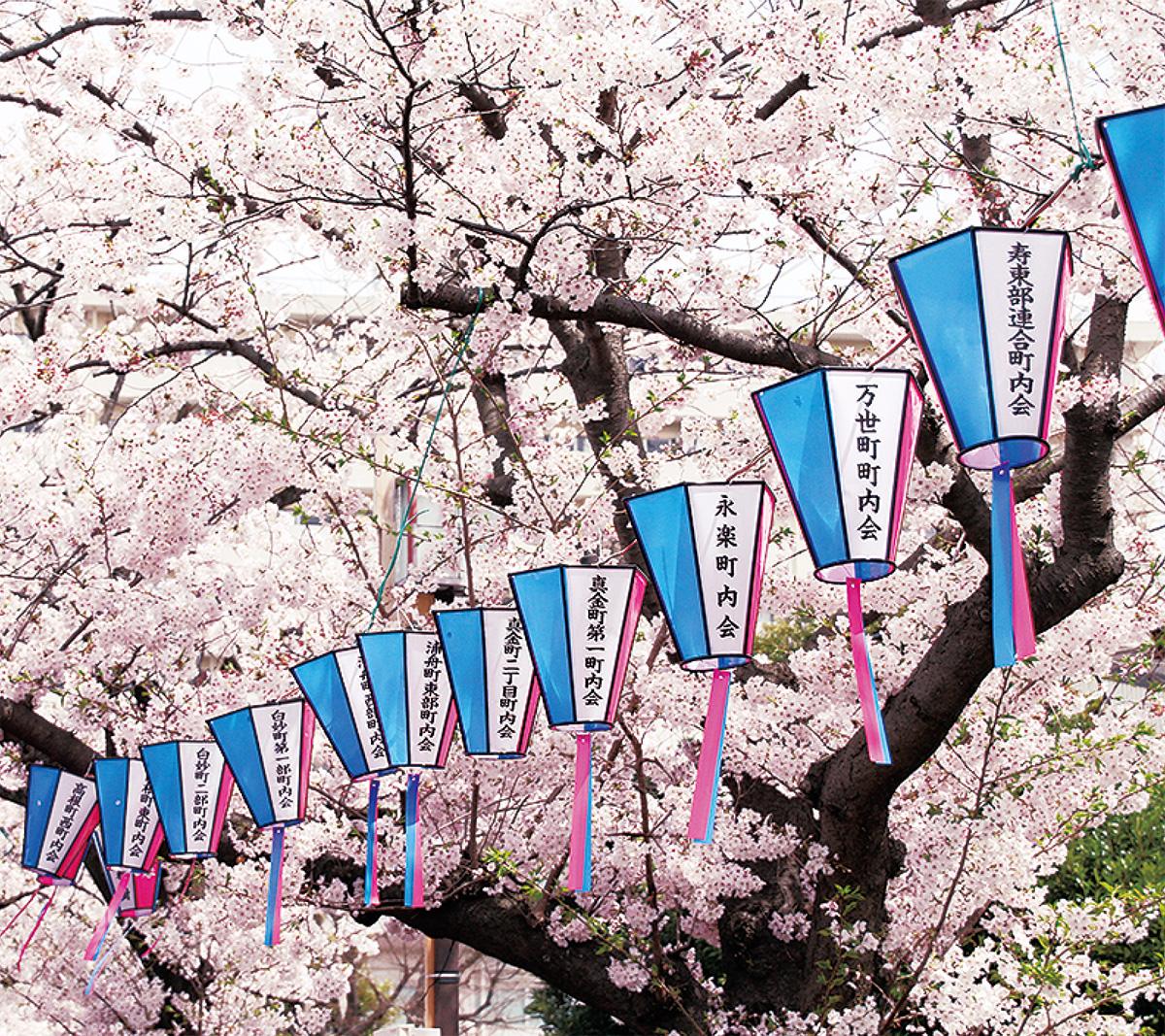 桜と並ぶぼんぼり