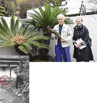 雄花を手に持つ充孝さんと雅子さん、枯れて茶色くなった雌花の中には多数の赤い種子(上)、60年前の写真の左奥に小さなソテツが(下)
