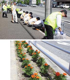 道脇を清掃する社員(写真上)と植えられたマリーゴールド(写真下)
