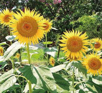 暑さに負けず咲くひまわり=8月1日撮影