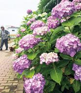 梅雨彩る紫陽花見ごろ