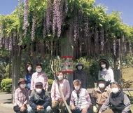 藤の花 見事に咲く