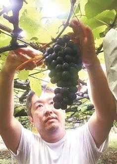 原料となるアーリースチューベンを収穫する三村さん